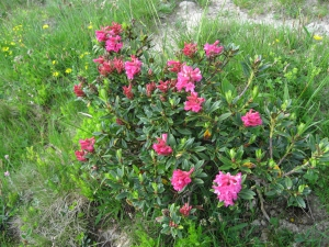 Rhododendrons ferrugineux